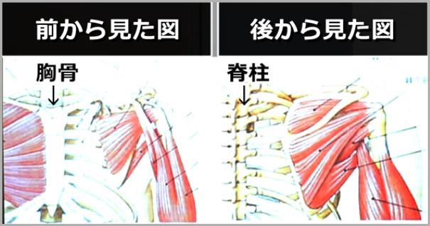肩甲骨周辺の筋肉図